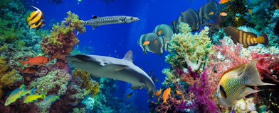 Poissons tropicaux d'Anthias avec les coraux nets du feu et requin Images stock