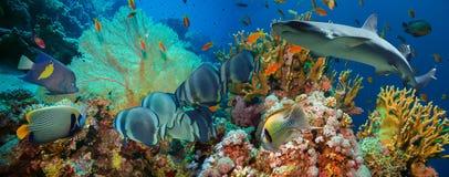 Poissons tropicaux d'Anthias avec les coraux nets du feu et requin Photo stock