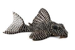 Poissons tropicaux d'aquarium de duplicareus de Corydoras de poisson-chat de Cory photo libre de droits