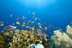 Poissons tropicaux d'or et récif coralien Images libres de droits