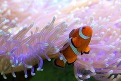 Poissons tropicaux de clown se cachant dans l'anémone image stock