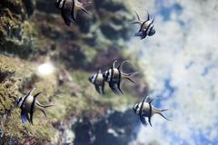 Poissons tropicaux de kauderni de Pterapogon de cardinalfish de Banggai photo stock