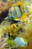 Poissons tropicaux de récif photos libres de droits