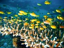 Poissons tropicaux de récif coralien Photographie stock