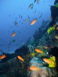 Poissons tropicaux de récif coralien Image stock