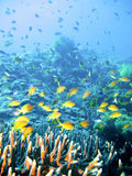Poissons tropicaux de récif coralien Photos libres de droits