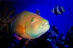 Poissons tropicaux de récif sous-marins Photo libre de droits