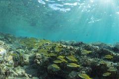 Poissons tropicaux des Caraïbes de récif chez Cozumel Images stock