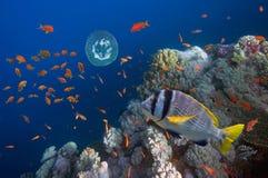 Poissons tropicaux et coraux durs en Mer Rouge Photo libre de droits