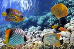 Poissons tropicaux et coraux durs en Mer Rouge Photographie stock libre de droits