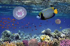 Poissons tropicaux et coraux durs en Mer Rouge Image libre de droits