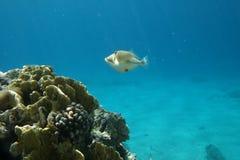 Poissons tropicaux et récif coralien Image libre de droits