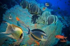 Poissons tropicaux et récif coralien photo libre de droits
