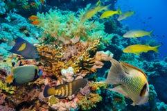 Poissons tropicaux et récif coralien Image stock