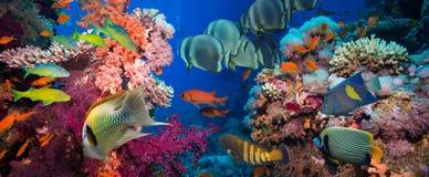 Poissons tropicaux et récif coralien Photo stock