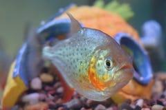 Poissons tropicaux exotiques de piranha dans un aquarium Photo libre de droits