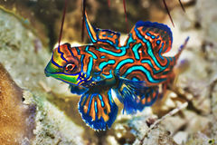 Poissons tropicaux Mandarinfish Photographie stock