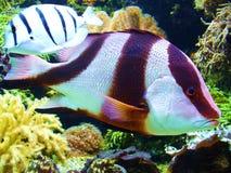 Poissons tropicaux parmi le corail images libres de droits