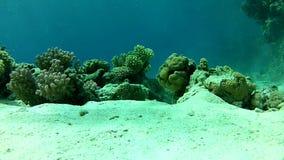 Poissons tropicaux, profondeur 8 m l'eau claire de la Mer Rouge banque de vidéos