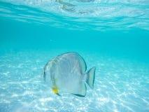 Poissons tropicaux sous-marins dans le ` merveilleux des Seychelles Anse d argenté images libres de droits