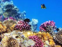 Poissons tropicaux sur le récif coralien Image libre de droits