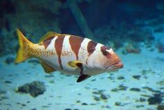 Poissons tropicaux sur un récif coralien Photographie stock libre de droits