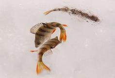 Poissons vivants de perche sur la glace Image libre de droits