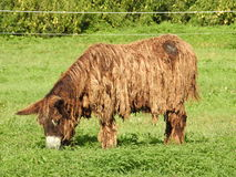 Poitou的驴 图库摄影
