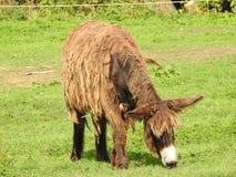 Poitou的驴 库存图片