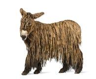 Poitou驴的侧视图,隔绝在白色 免版税图库摄影