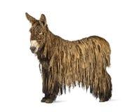 Poitou驴的侧视图,隔绝在白色 免版税库存图片