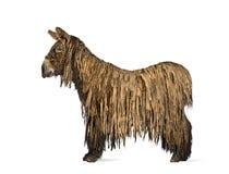 Poitou驴的侧视图,隔绝在白色 图库摄影