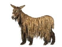 Poitou驴的侧视图,隔绝在白色 库存照片