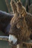 Poitou驴 免版税库存照片