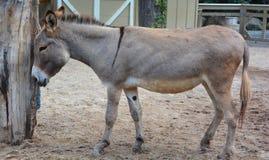 Poitou驴 免版税库存图片