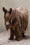 Poitou donkey Equus asinus. Also known as the Poitevin donkey Royalty Free Stock Photo