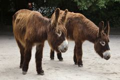 Poitou donkey Equus asinus asinus Stock Photography