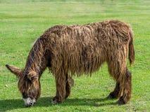 Poitou Donkey (Poitevin Donkey) Stock Images