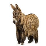 Poitou donkey with a rasta coat Royalty Free Stock Photo