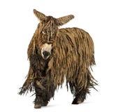 Poitou donkey with a rasta coat walking Stock Images