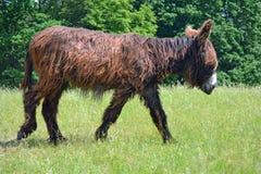 Poitou-Esel Lizenzfreie Stockbilder