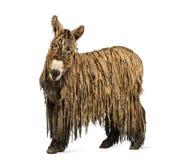 Poitou-Esel mit einem rasta Mantel lizenzfreies stockbild