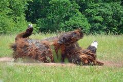 Poitou-Esel Rolle Stockfoto