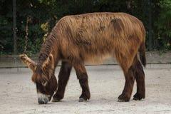 Poitou osła Equus asinus asinus zdjęcie stock