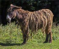 Poitou ` s驴9 库存图片