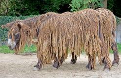 Poitou`s  Donkey 3 Stock Photo