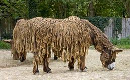 Poitou`s Donkey 7 Royalty Free Stock Photos