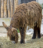 Poitou`s Donkey 8 Royalty Free Stock Photography