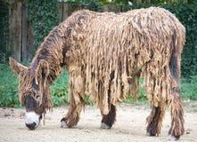Poitou `s Esel 1 Stockfotografie