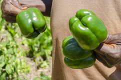 Poivre de Holding Mature Bell d'agriculteur photos stock